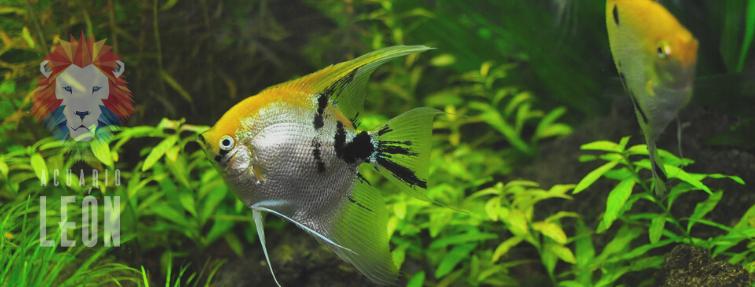pez ángel