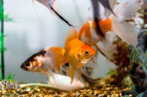 pez japonés
