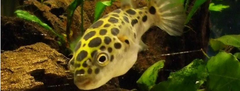 pez globo puffer